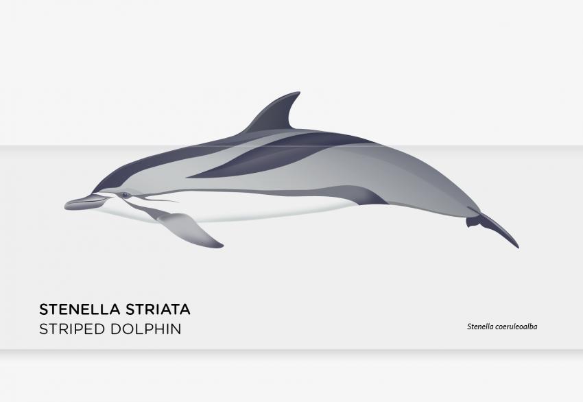 stenella_2-01